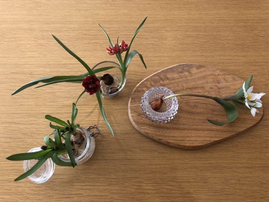 水耕栽培 ミニチューリップ テタテ 原種