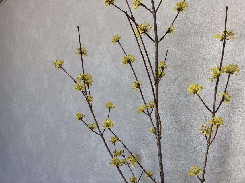 サポートプラザイシグロ多治見店 ミズキ科のお花『山茱萸』(サンシュユ)
