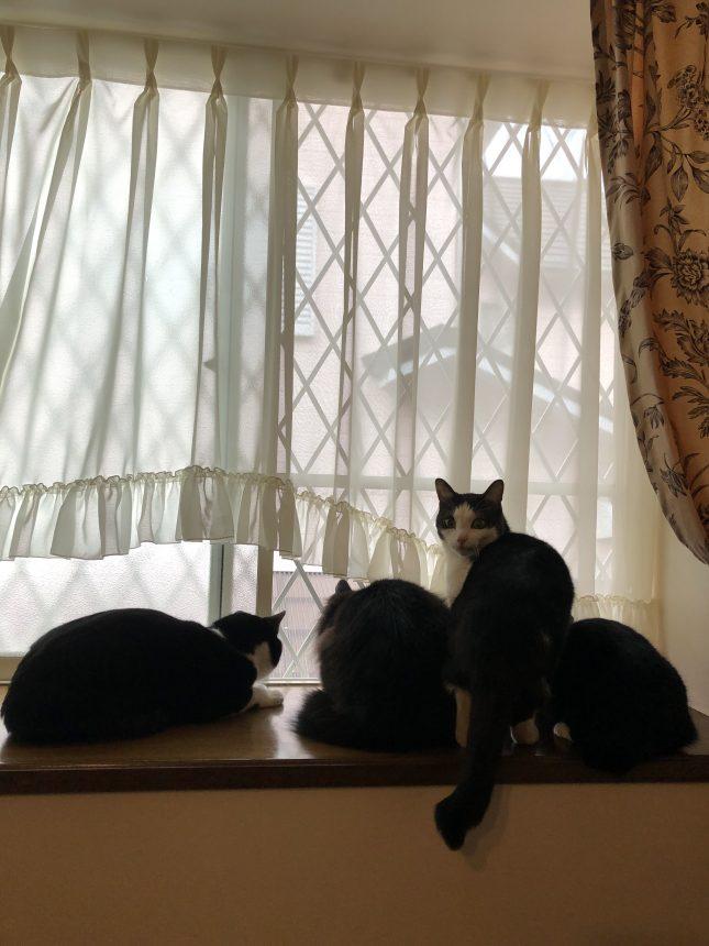 保護猫 はちわれ猫