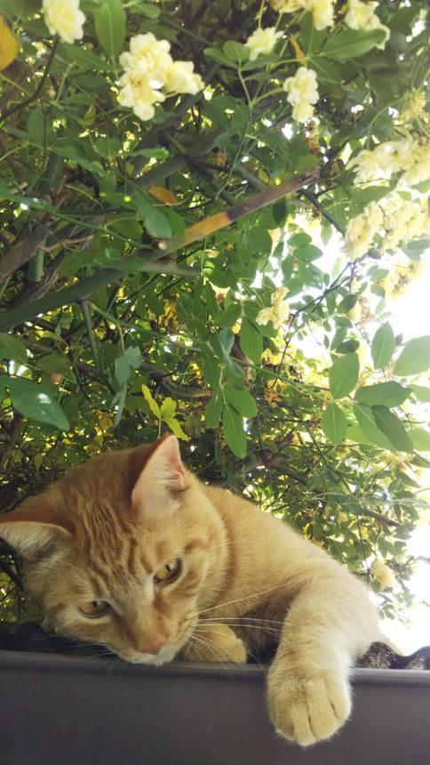 モッコウバラ 愛猫 ガーデニング