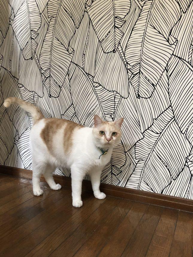 ネコと暮らす家 アクセントクロス 玄関リフォーム