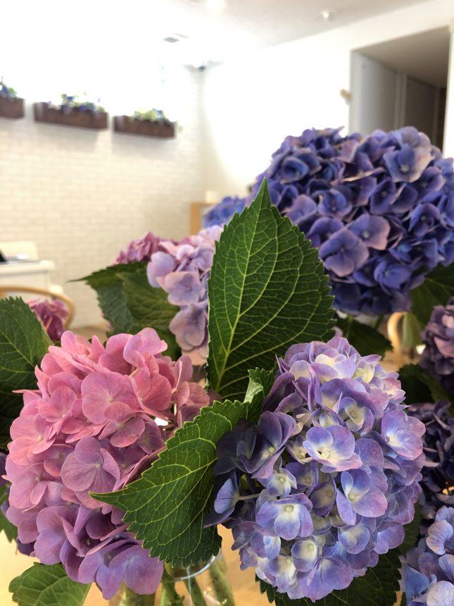 紫陽花 あじさい サポートプラザ